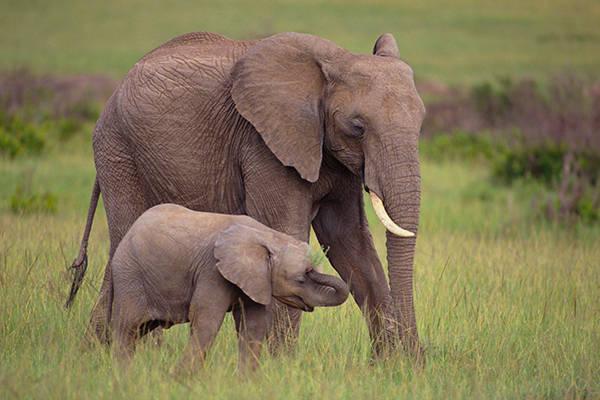 Mơ-thấy-voi-1 Nằm mơ thấy voi đánh đề số mấy? Điềm báo gì?