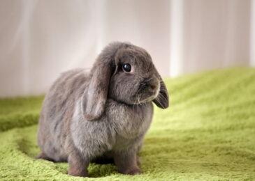 Mơ thấy thỏ