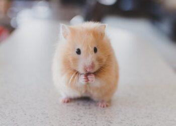 nằm mơ thấy chuột